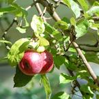 Rode Appels aan Appelboom