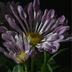 HDR foto bloem