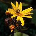 Hommel op gele bloem
