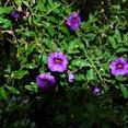 Struik met paarse bloemen