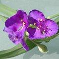 Paarse bloem Tradescantia ohiensis