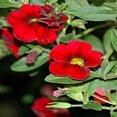 Rode bloemetjes