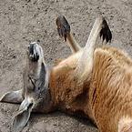 Slapende kangaroo genaamd skippy
