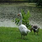 Witte Gans op het gras