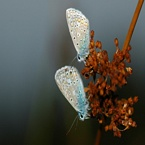 2 Vlinders op Bies