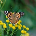 Vlinder Macro foto's