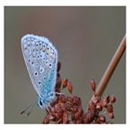 Blauwe vlinders