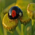 Macro foto's - Lieveheersbeestje Zwart