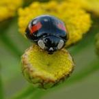 Lieveheersbeestje Zwart