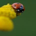 Macro foto's - Lieveheersbeestje