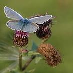 foto blauwe vlinder