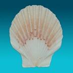 Shell Schelp